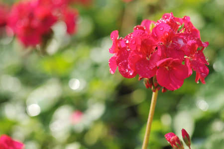 cluster of Geranium flowers in the morning Stock Photo