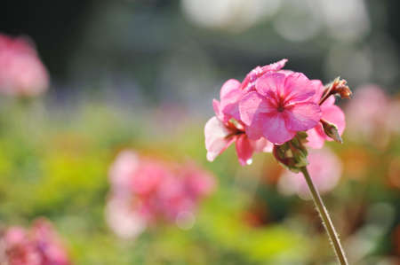 cranesbill: cluster of Geranium flowers in the morning Stock Photo