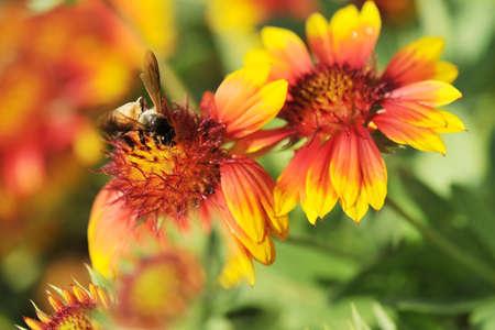 oklahoma: Honeybee on Gaillardia pulchella Foug, Blanket Flower