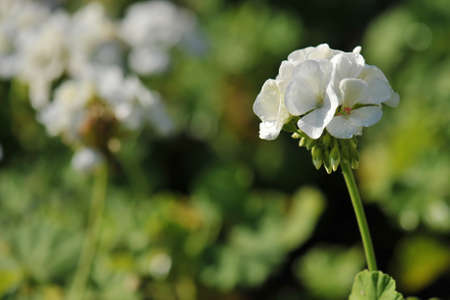 cranesbill: cluster of white Geranium flowers in the morning