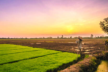 scarecrow in rice field on sunset background Stock Photo