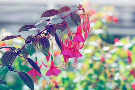 beautiful fuschia flower in nature