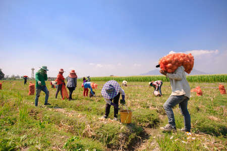 Farmers harvest Onion in farm