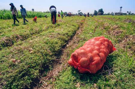 Les agriculteurs récoltent l'oignon dans la ferme Banque d'images - 97630751