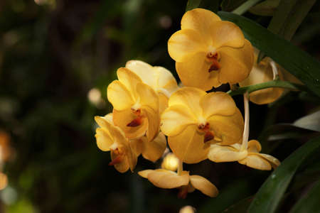 beautiful yellow phalaenopsis orchid flower in nature