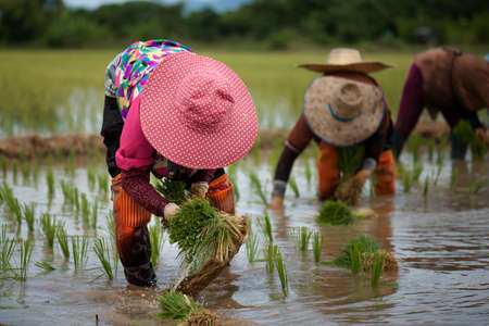 Farmers are planting rice in the rainy season in Thailand : Rural lifestyle
