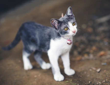 Thai gray white cat relax area outdoors Stock fotó