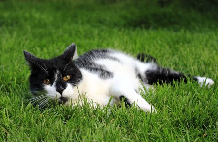 domestic: Domestic black and white cat on the grass