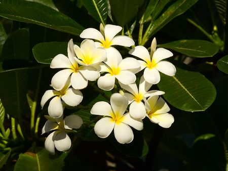 leis: White plumeria blossom on Oahu islan, Hawaii