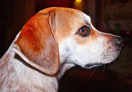 beagle mix: profile of a beagle mix Stock Photo
