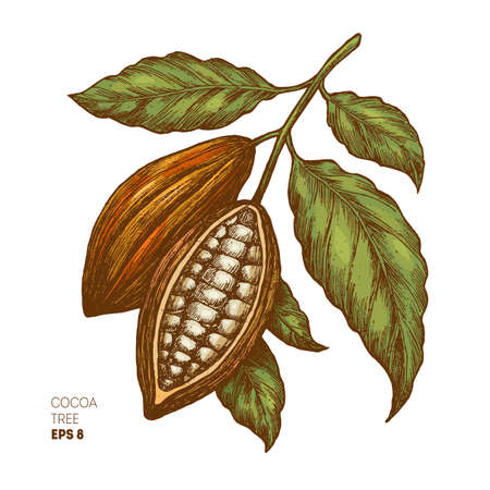 A Cocoa beans illustration on white background. Stock Illustratie