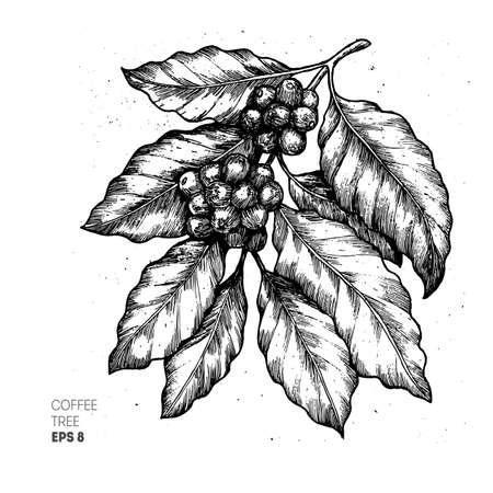 Coffee tree illustration. Engraved style illustration. Vintage coffee. Vector illustration