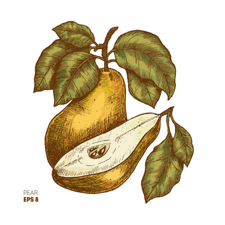 Colored pear fruit illustration. Engraved style illustration Vector illustration