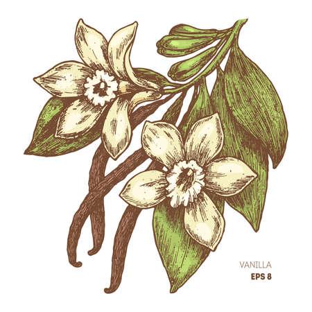 バニラの花とさや。植物バニラのイラスト。ベクトル図