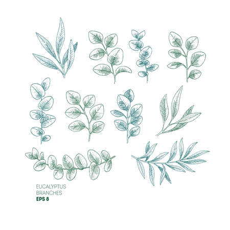 Eucalyptus leaf collection. Vintage engraved botanical branches. Vector illustration