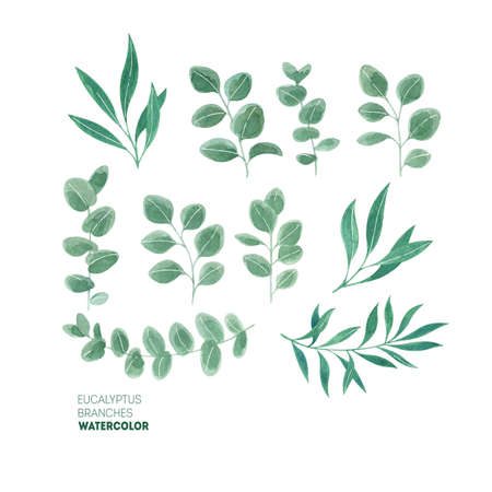 Eucalyptus leaf collection. Watercolor illustration Stock Photo