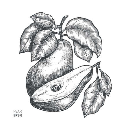 Pear fruit illustration. Engraved style illustration. Vector illustration