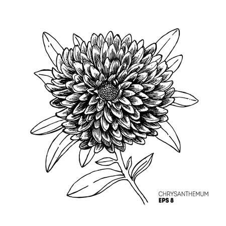 Chrysanthemum flower illustration. Botanical sketchy style flower. Vintage illustration of chrysanthemum. Vector illustration