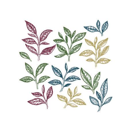 Tea leaf collection. Engraved leaf set. Kinds of tea. Vector illustration