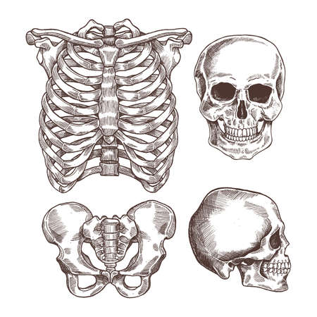 Human skeleton engraved set. Rib cage, skull. Vector illustration