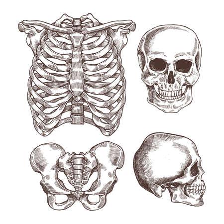 Human skeleton engraved set. Rib cage, skull. Vector illustration