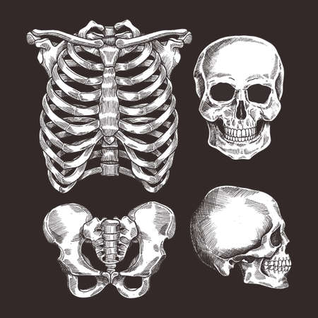 Human skeleton sketch set. Rib cage, skull. Vector illustration Zdjęcie Seryjne - 91467162