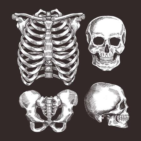 Menschliches Skelett Skizzensatz. Brustkorb, Schädel. Vektor-illustration Vektorgrafik
