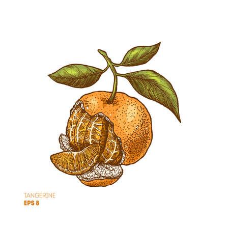 Tangerine colored illustration. Engraved style. Vector illustration. Vettoriali
