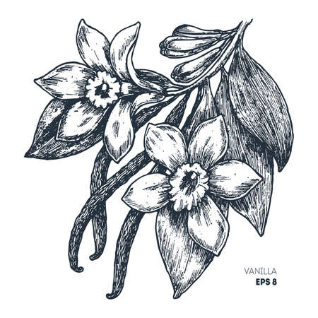 Vanilla flower and sticks. Botanical vanilla illustration. Vector illustration Vettoriali