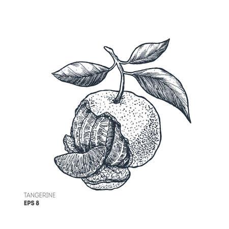 Tangerine illustration. Engraved style. Vector illustration