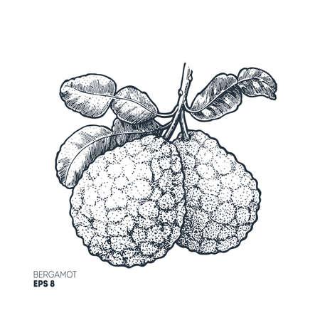 Bergamot illustration. Engraved style illustration. Kaffir Lime. Vector illustration.