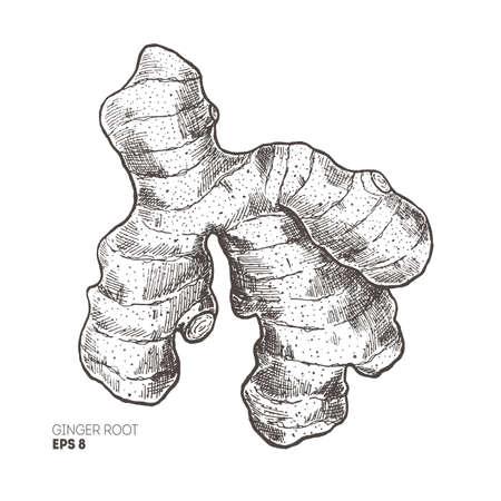 Ilustracja korzeń imbiru Styl Vintage. Ilustracja wektorowa Ilustracje wektorowe