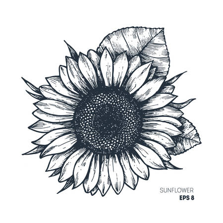 Sunflower vintage engraved illustration.  Vector illustration isolated on white background.