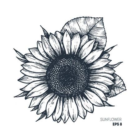 Sunflower vintage engraved illustration.  Vector illustration isolated on white background.