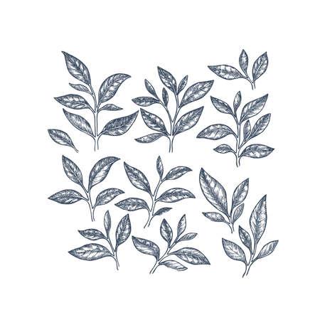 Tea leaf collection. Engraved leaf set. Vector illustration