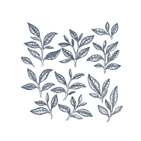 Tea leaf collection. Engraved leaf set. Vector illustration