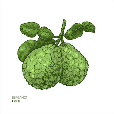 Bergamot colored illustration, engraved style illustration. Kaffir lime vector illustration. 矢量图像