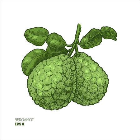 Bergamot colored illustration, engraved style illustration. Kaffir lime vector illustration. Stock Illustratie