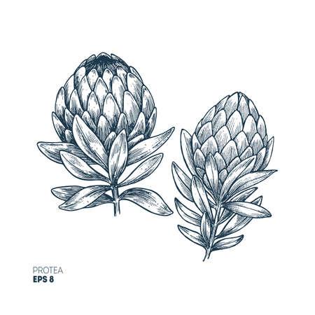 Protea flower vintage engraved illustration. Botanical Protea. Vector illustration