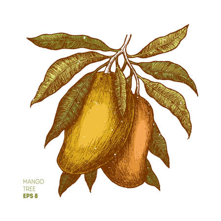 Mango tree vintage illustration. Botanical mango fruit illustration. Engraved mango. Vector illustration