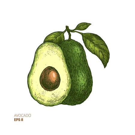 Colored avocado botanical illustration. Engraved style illustration. Packaging design. Vector illustration