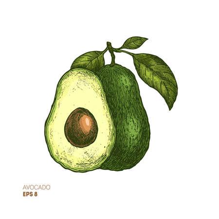 Illustrazione botanica di avocado colorato. Illustrazione di stile inciso. Design della confezione. Illustrazione vettoriale Vettoriali
