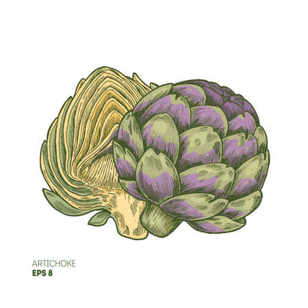 Colored artichoke illustration. Botanical sketch. Vector illustration Illustration