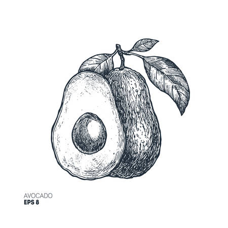 Avocado botanical illustration. Engraved style illustration. Packaging design. Vector illustration Ilustrace