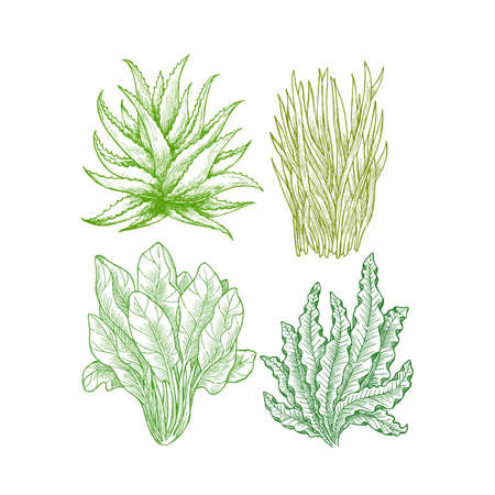 Super greens illustration. Aloe, wheatgrass, spinach, spirulina (seaweed). Green plants. Vector illustration