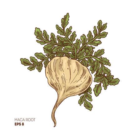 Maca plant illustration. Engraved style super food. Vector illustation Ilustracja