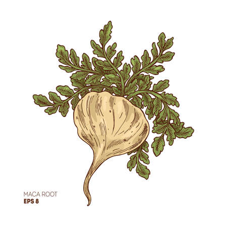 Maca plant illustration. Engraved style super food. Vector illustation Illustration
