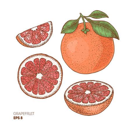 Grapefruit colored botanical illustration. Engraved style. Vector illustration Vector Illustratie