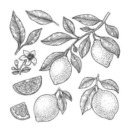 Lemon botanical illustration. Engraved style. Vector illustration Ilustração