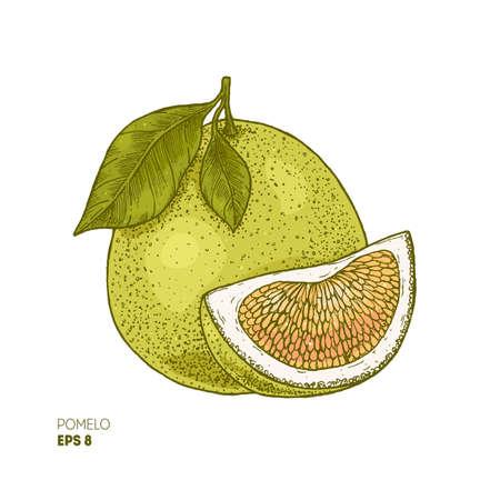 Illustrazione botanica colorata pomelo. Stile inciso. Vettoriali